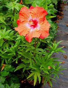 Exotic Hibiscus 'Carrot Top' -