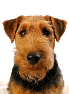 Welsh Terrier-- going to get a Welshie and name her Minnie Moose