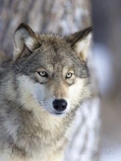 Gray Wolf Fotoprint van Frank Lukasseck - bij AllPosters.be