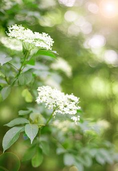 Flowering Shrubs Elderberry Season, Elderberry Tea, White Flowers, Beautiful Flowers, Champs, Queen Annes Lace, Elderflower, Spring Green, Summer Garden