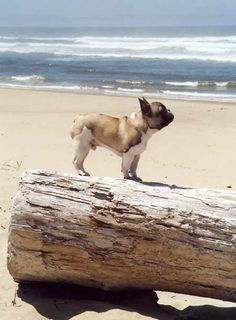 Lumberjack, the French Bulldog at the Beach.