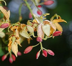 A tiny, unusual, mystery beauty... turns out it's Tamarind… | Flickr - Photo Sharing!