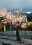 Luminous blossoming almond tree on a country road in the mountains.