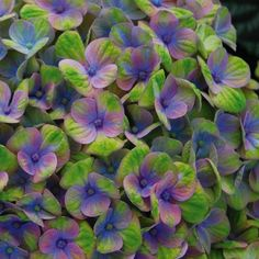 HORTENSIA MAGICAL® CORAL