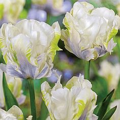 Beautiful snowy white flowers are adorned with prominent blue flames and have a pleasing aroma. Bloom from mid to late spring. Zones 3 to Spring Blooming Flowers, Spring Flowering Bulbs, Spring Blooms, Part Shade Flowers, Bulb Flowers, Summer Bulbs, Spring Bulbs, Tulips Garden, Parrot Tulips