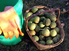 How to harvest and hull black walnuts