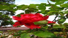 Maravilhosas rosas