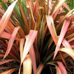 Phormium tenax pink stripe container plants pinterest pink phormium flamingo new zealand flax thecheapjerseys Gallery