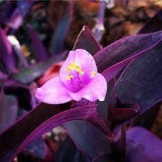 Blooming in the succulent gallery - spiderwort tradescantia pallida 'purple heart' #purple #dbgflowers #bloom