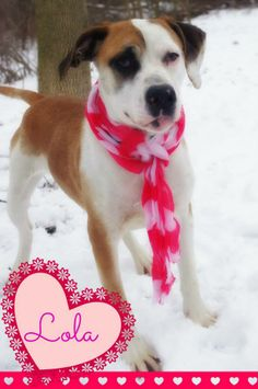 """URGENT! PLEASE SPONSOR/RESCUE/ADOPT THIS SWEET GIRL """"LOLA""""!!! SEE HER VIDEO...(video)>>> http://www.youtube.com/watch?v=UiXeUiJAukA YOUNGSTOWN, OHIO...Available on: 1/17Contact: fofmcdp@gmail.comLola (ID #38) is a young female hound/pointer mix who was brought in as a stray. She spent the first couple days at the pound terrified and would not come out, but one very special volunteer worked with..."""