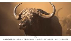 Buffalo in the dust Buffalo, Moose Art, Wildlife, Animals, Animales, Animaux, Animal, Animais
