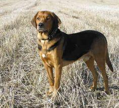 Polish Hound / Ogar Polski #Hunting #Dogs