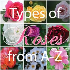 Types of roses from A-Z - Fabulous resource!