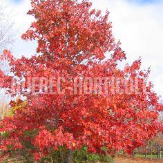 image de Acer rubrum Northwood Acer Rubrum, Photos, Image, Gardens, Plant, Pictures