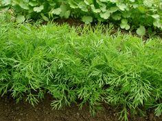 Укроп хорошо приживается в цветочных горшках при выращивании на балконе