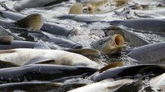 #Australia to #eradicate carps by releasing herpes #virus into rivers...
