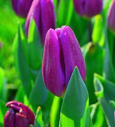 Tulipanes una de mis flores favoritas :D