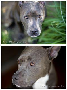 pitbulls are the best!! #pitbull #bluenose #pit #puppy #dog www.8amphotography.com