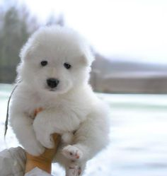 Fluffy Samoyed puppy - Savell - the next best thing to hugging a polar bear! Cute Puppies, Cute Dogs, Dogs And Puppies, Doggies, Chubby Puppies, Samoyed Puppies, Baby Dogs, Mini Puppies, Puppys