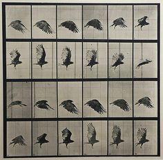 Eadweard Muybridge ~Vulture Flying,  Plate 765 from Animal Locomotion, 1887.