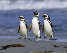 Magellanic Penguins--my fav
