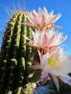 Saguaro Cactus Blossom Drawing
