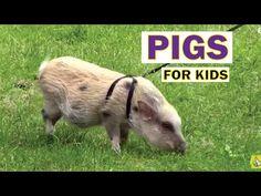 Pigs For Kids, Farm Animals Video for Children - YouTube