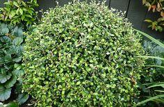 "NZ native topiary - balls of Corokia ""Gentys Ghost"", grown by HEDGE Garden Design & Nursery"