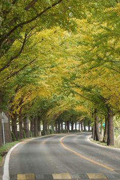 =Ginkgo Road, South Korea by CsOH=