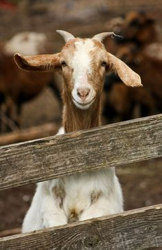 .Goats have the most amazing faces, I always feel They lived before as humans, And sometimes they resent you, because you don't give them enough respect, so I always do.