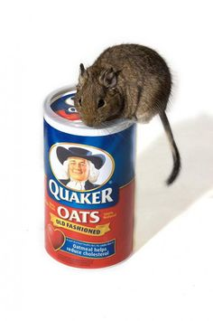 My Degu sitting on top of a box of it's favorite treat, Oats!