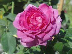 Róża wielokwiatowa Reine des Violettes