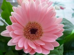 gülçin ağsar pespembe çiçek çok yapraklı çiçek