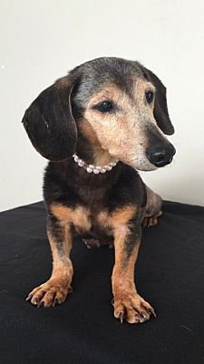 Weston Fl Senior Dachshund Meet Belle A Pet For Adoption
