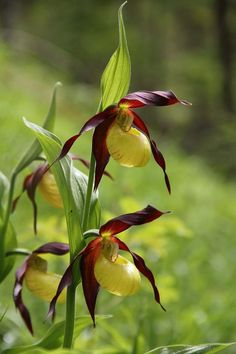 Anns Photo Gallery - Lady's Slipper Orchid My Photo Gallery, Photo Galleries, Lady Slipper Orchid, Womens Slippers, Orchids, My Photos, Flowers, Plants, Photos