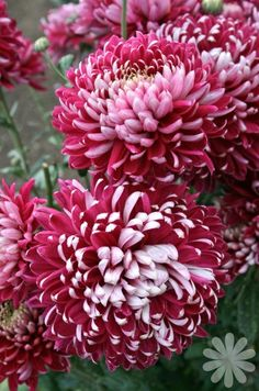 Garden Flowers - Annuals Or Perennials Chrysanthemum 'Cornerstone' Beautiful Flowers Garden, All Flowers, Pretty Flowers, Shade Garden, Garden Plants, Crysanthemum, Chrysanthemum Flower, Zinnias, Gerbera
