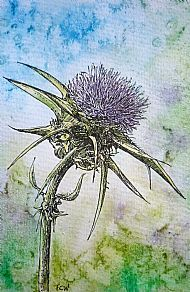Milk Thistle - pen & ink/watercolour