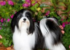 The Havanese is a type of Bichon breed, and is the national dog of Cuba, being the country's only native dog.