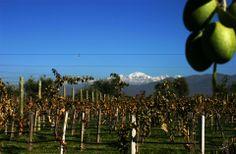 O clima ameno e os sistemas de irrigação de Mendoza favorecem a produção de vinha e de variadíssimos frutos. #Argentina #Viagem #argentinatotal