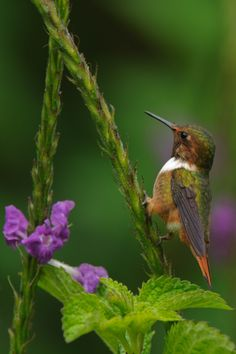 A Scintillant Hummingbird that I photographed in Costa Rica. #Hummingbird
