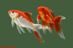 Goldfish - Comets