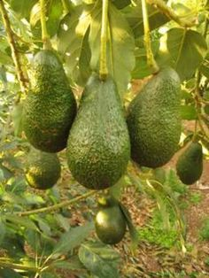 daleys fruit sells dwarf type avocado called wurtz it grows app 6m tall by 4m wide, full of fruit, app grows ok bees and bugs cross pollinute fruit.