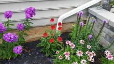 Hot Paprika Echinacea, Purple Tall Phlox, Liatris, and Double Pink Delight