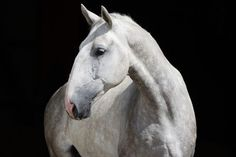 The Kladruber {The oldest Czech horse breed. The main breeding centre is Kladruby nad Labem, where Kladrubers have been bred for more than 400 years. Different Horse Breeds, Types Of Horses, Campolina, Rare Horse Breeds, Horse Love, Grey Horses, Draft Horses, War Horses, All About Horses