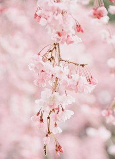 """yuffii: """" Sakura (by inoc) """" Beautiful Mind, Beautiful Flowers, Pink Love, Pretty In Pink, Pineapple Wallpaper, Spring Photography, Cherry Blossom Tree, Spring Blossom, Types Of Flowers"""