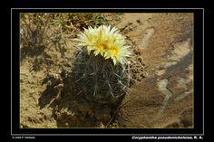 Coryphantha pseudonickelsiae