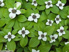 05RAC-08-Dogwood-flower.jpg (1000×750)