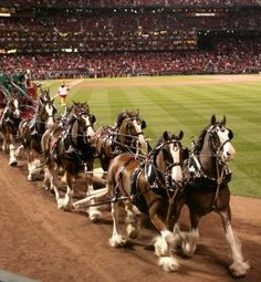love the clydesdales at Busch Stadium