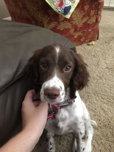 Things that make you go AWW! Like puppies, bunnies, babies, and so on. A place for really cute pictures and videos! Springer Dog, Springer Spaniel Puppies, English Cocker Spaniel, English Springer, Cute Puppies, Cute Dogs, Dogs And Puppies, Cute Animal Pictures, Puppy Pictures