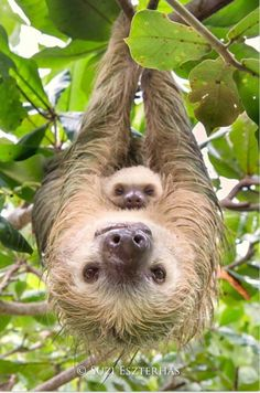Animal Nursery Art, MOM and BABY SLOTH, Baby Animal Photography, Wildlife Photography, Safari Nurser - Animais&famílias adoráveis❤❣ - Animals Cute Baby Sloths, Cute Sloth, Funny Sloth, Baby Otters, Baby Koala, Cute Little Animals, Cute Funny Animals, Mother And Baby Animals, Baby Wild Animals